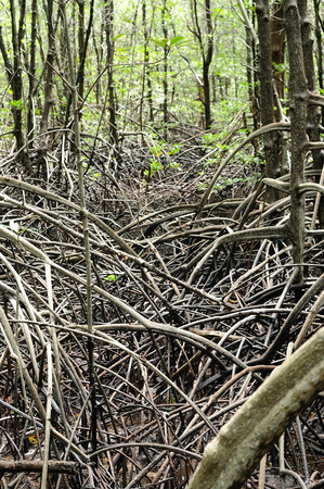 soil erosion: Mangrove forest with roots prevent soil erosion Stock Photo