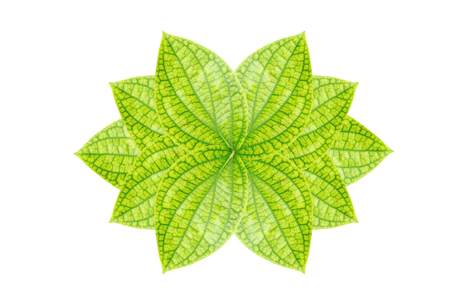 Pothos or devils ivy leaf isolated on white background Stock Photo