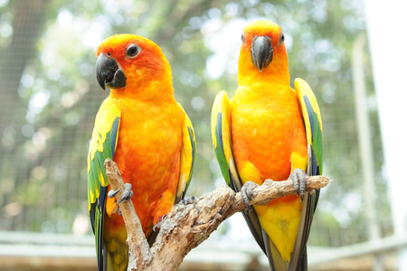 Couple of conure birds parrot hanging on dry branch with bokeh background. Stock Photo