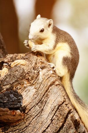 Single chipmunk eating peanut on tree.