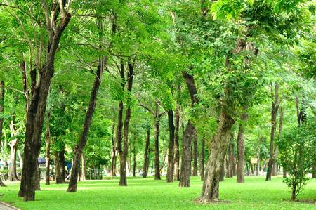 tamarindo: Gran crecimiento de árboles en el jardín, la salud fresca Foto de archivo