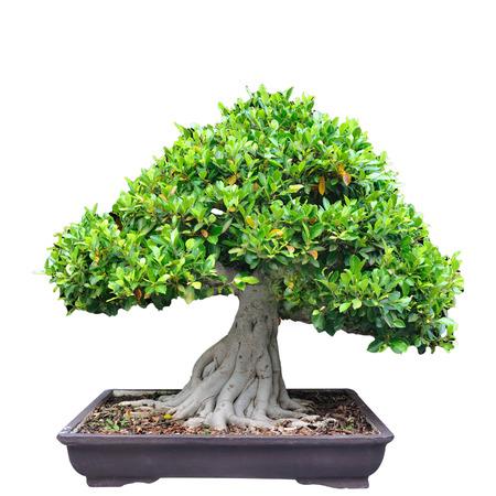 white trim: Middle tree trim Bonsia in pot on white background.