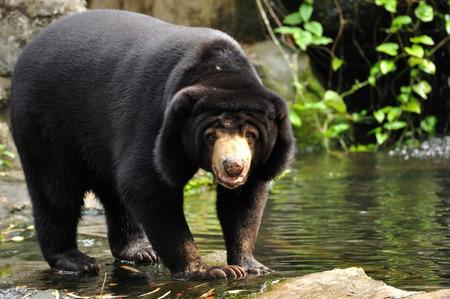 Maleisische zonnenbeer naar camera kijken Stockfoto