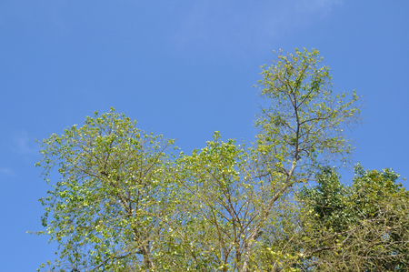 oxigen: Green pine trees with blue sky, fresh and relax.