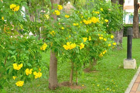 Golden trumpet vine yellow bell tree in garden stock photo golden trumpet vine yellow bell tree in garden stock photo 72982574 mightylinksfo