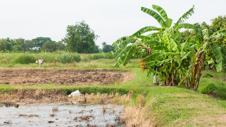 Rice field with banana trees background in Thailand. Stock Photo
