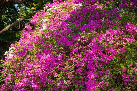 Bougainvillea flower tree in public garden.