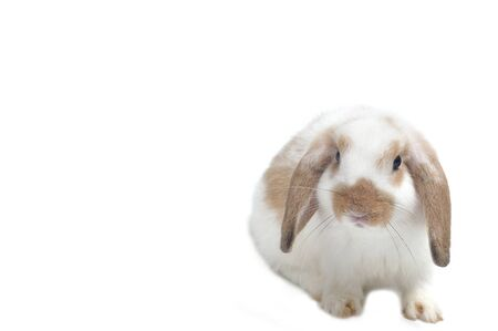 Cute rabbit lop on white background.