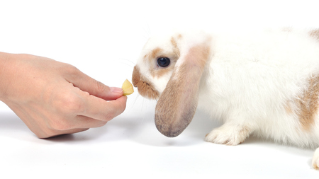 Woman hand feeding fruit to cute rabbit lop on white background.