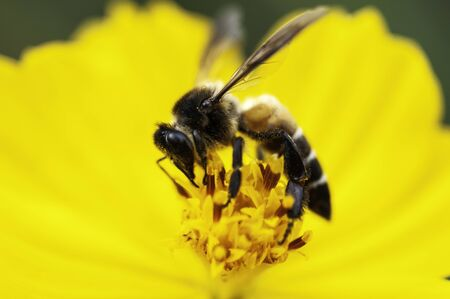 Close up big bee with yellow flower pollen, bug keep syrup from flower. Reklamní fotografie