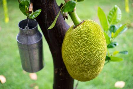 ripen: ripen jackfruit on the jackfruit tree Stock Photo