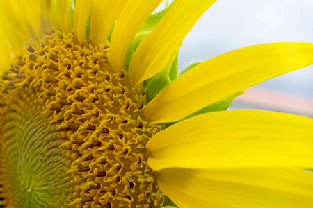 ''close up'': close up part of sunflower Stock Photo