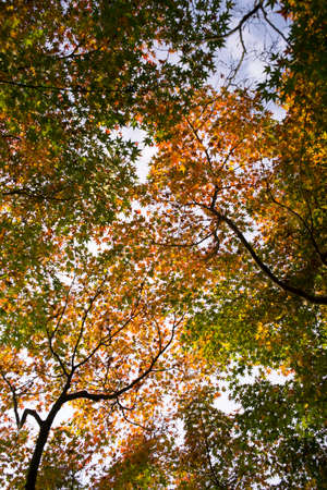 low angles: Maple tree in low angle.