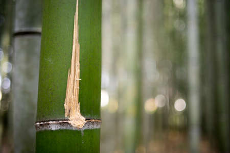 clam gardens: Close up of scratch on bamboo.