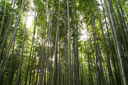 clam gardens: Green straight bamboo garden in low angle. Stock Photo