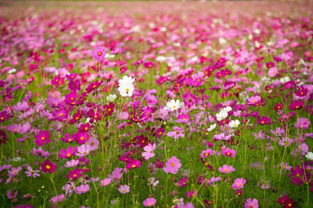 depth of field: Pink and white cosmos field in thin depth of field