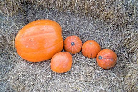 riped: Pumpkins on straw