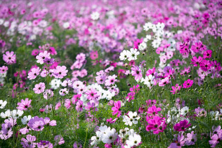tone: Cosmos field in soft mood and tone Stock Photo