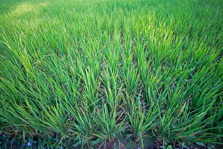 riped: Green field of rice before ripen Stock Photo