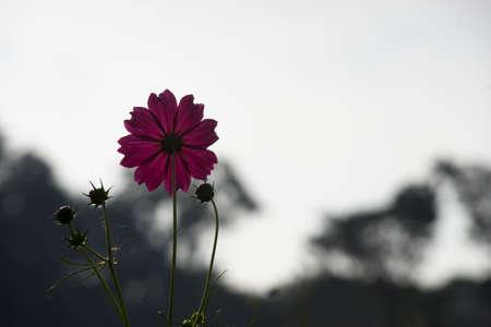 sillhouette: Semi sillhouette of pink flower Stock Photo