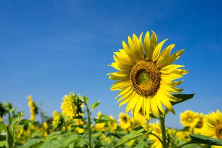 ramo de flores: Primer plano de girasol en el cielo azul claro Foto de archivo