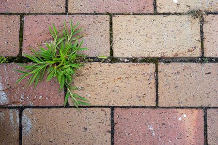 푸른 잔디 보도에 붉은 벽돌 사이 성장합니다.