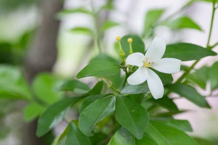 jessamine: Fiore bianco, Orang Jessamine Archivio Fotografico