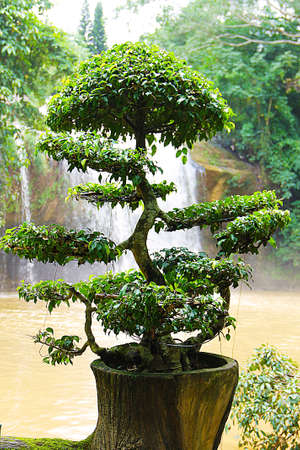 Bonsai, neatly trimmed with small leaves growing in a tree stump.