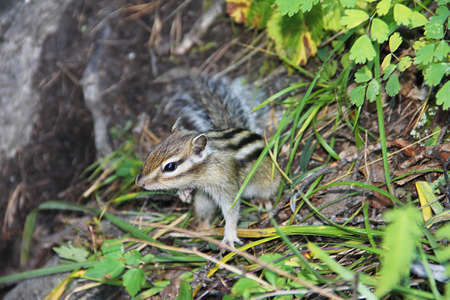 ardilla: Little chipmunk with black stripes on the back in green grass.