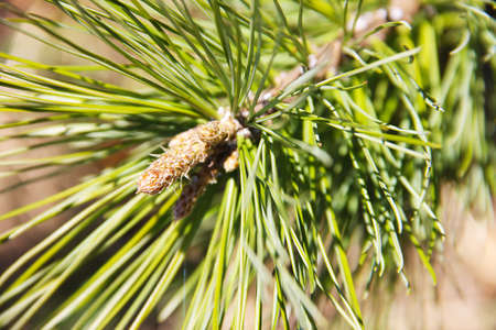 A branch of a tree A young, bright green needle of a cedar tree closeup on a blurred background.