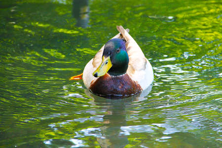 A wild duck mallard with green plumage on his head floats on the lake with green water.