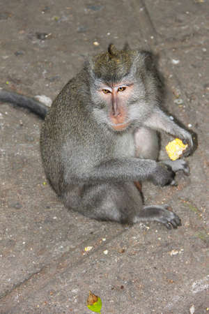 An adult monkey sits on an asphalt path and eats corn. Photo taken in one of the parks on the island of Bali.