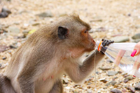 A small monkey female is a macaque, sitting on small gray stones and greedily drinking water from the bottle, holding on to it. Photo taken on one of the islands of Thailand.