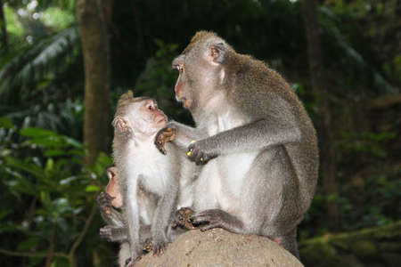 Three monkeys sit on a large stone against a background of green jungles and communicate with each other.