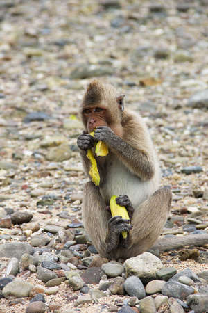 A small monkey - a macaque, sitting on small gray stones and eating a banana. Photo taken on one of the islands of Thailand.