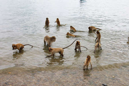 A group of small monkeys - a macaque collects nuts in the water. Photo taken on one of the islands of Thailand, on the Pacific coast. Фото со стока