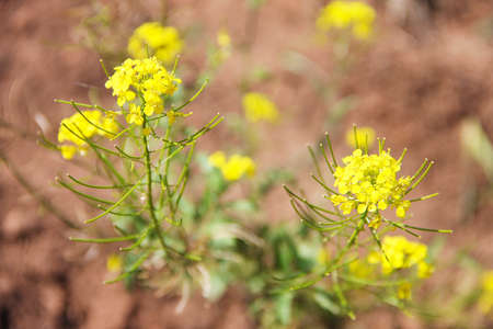 Rape a green bush with small yellow flowers a perennial herb rape a green bush with small yellow flowers a perennial herb with two mightylinksfo