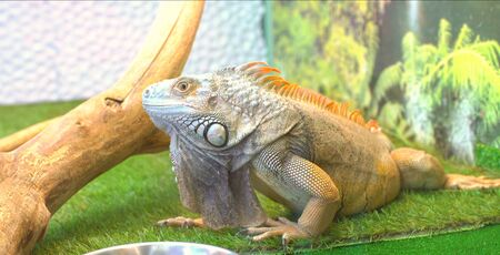 Iguana is found in captivity as a pet due to its calm disposition and bright colors. Exotic pet.