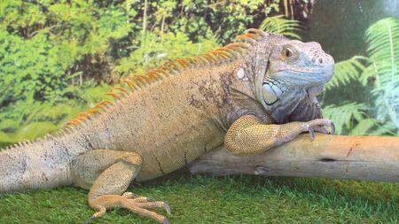 Huge adult iguana resting in the zoos terrarium. Wild nature.