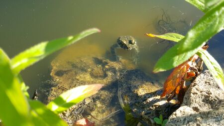 Sitting frog in the pond. Frog in the pond. The frog in the water. 写真素材