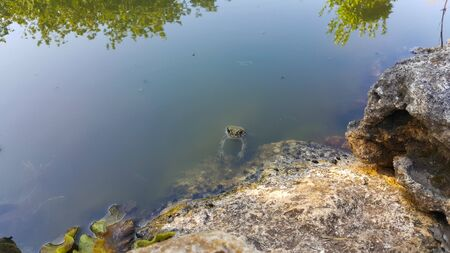 Frog resting on a rock near the water. A marsh frog sits near a pond. Sitting frog in the pond. Frog in the pond. 写真素材