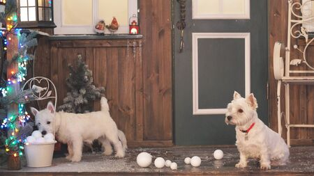 Two adorable dogs in Christmas interior. Two adorable white dogs.