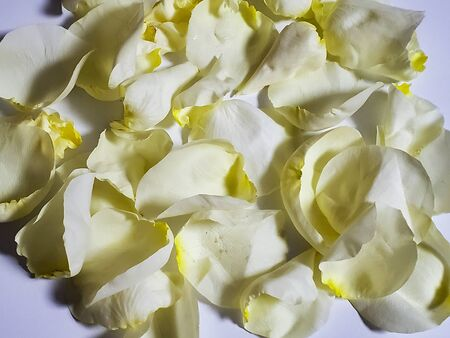 beautiful rose petals scattered on white background. large number of petals, Zdjęcie Seryjne