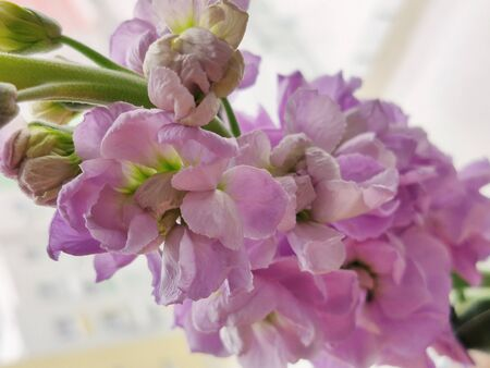lilac flower stands on the window close up.