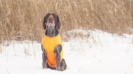 Portrait of a hunting dog on a winter hunt.
