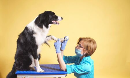 female veterinarian takes care of the dog s paws and nails. A professional veterinarian loves his job. Foto de archivo