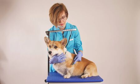 female veterinarian examines a dog in a veterinary clinic. close- up, animal care.