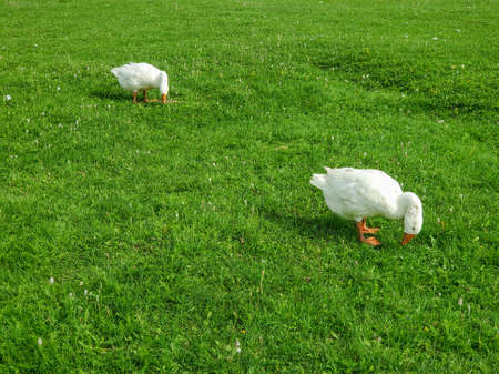 two white geese go nibbling green fresh grass in a meadow.
