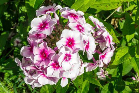 Beautiful, blooming phlox flowers
