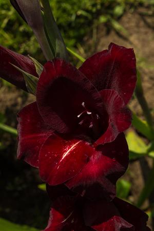 Gladiolus in garden